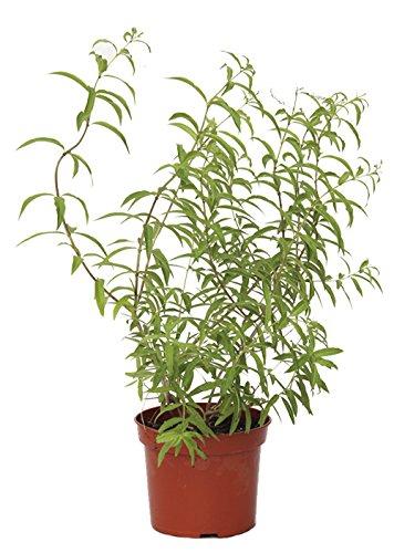 Outlet Garden - Hierba Luisa - Aloysia Triphylla. Arbusto Aromático, Altura: 50 Centimetros Aproximado, Contenedor: 17 Cm. Envios Solo Peninsula