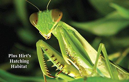Praying Mantis 2 Egg Cases 100-400 Babies with Hirt's Hatching Habitat