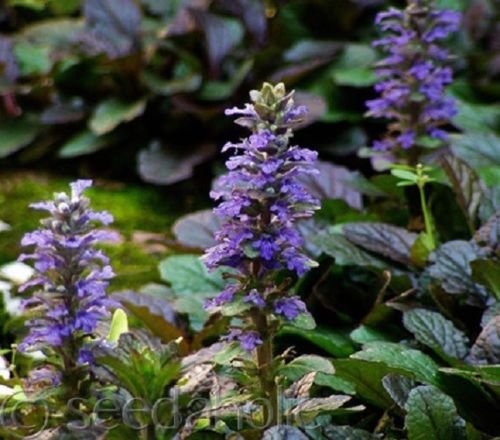 NEW! 30+ AJUGA REPTANS FLOWER SEEDS /...