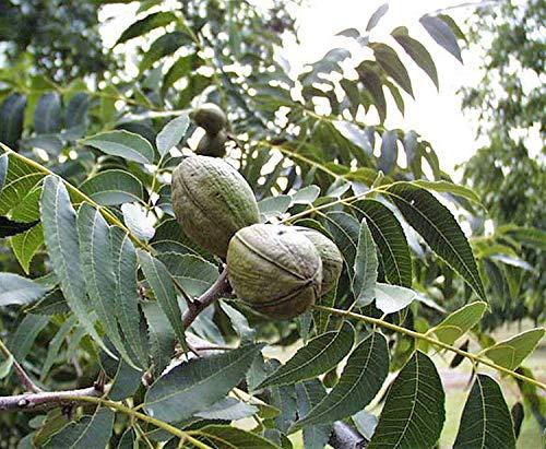 Pekannuss Carya illinoinensis Pflanze 35-40cm Hickory Pecannussbaum Rarität