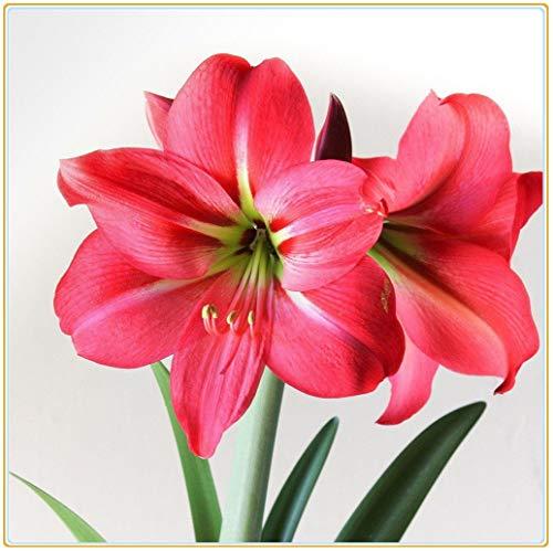 Bulbos verdaderas Amaryllis de los bulbos de flores, bulbos de Bonsai Hippeastrum para el hogar y jardín bulbos de marihuana Barbados flor del lirio/2bulbos-7