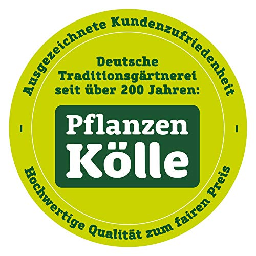 Pflanzen Kölle 2er-Set Gartenbambus Fargesia rufa Höhe 40-60 cm, im 5 Liter Topf