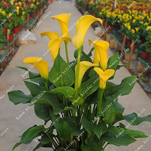 GETSO ZLKING 2ST Calla-Lilien-Birnen Bonsai Balkon Exotische Pflanze Strahlungsabsorption Perennial Live-Dekoration Blume: Calla Lily9