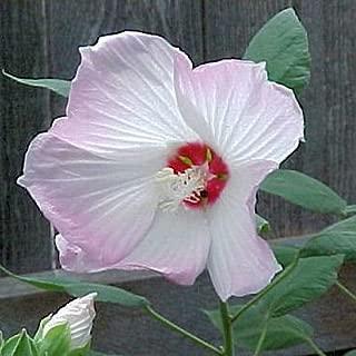 HARDY SWAMP HIBISCUS MOSCHEUTOS white/pink 200 seeds