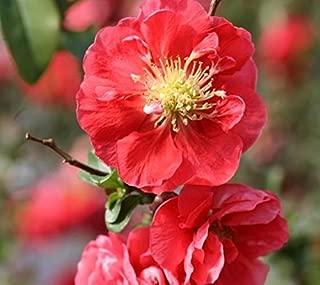 Best pink storm quince Reviews