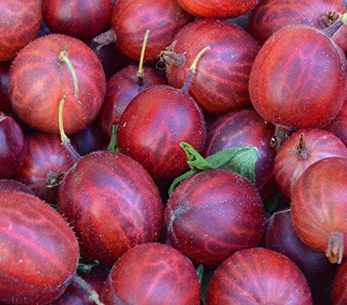 Dehner Stachelbeere Hinnomaeki, Hochstamm mit roten Früchten, ca. 90-110 cm, Beerenobst