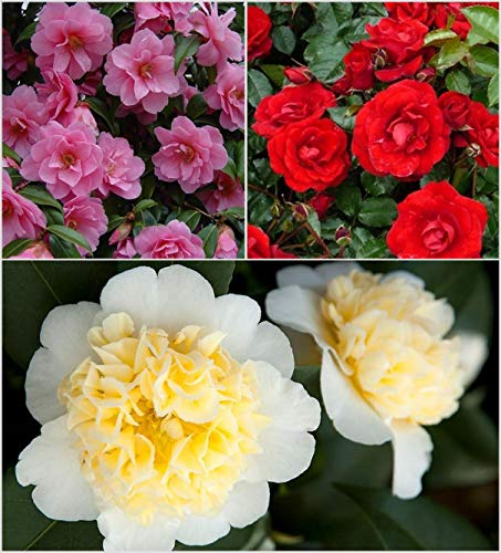 3X Camellia x Williamsii Colour Variety Collection