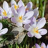 Bulbos de azafrán,De Cama Plantas ExóTicas Resistentes A Las RaíCes Hermosas-7bulbos