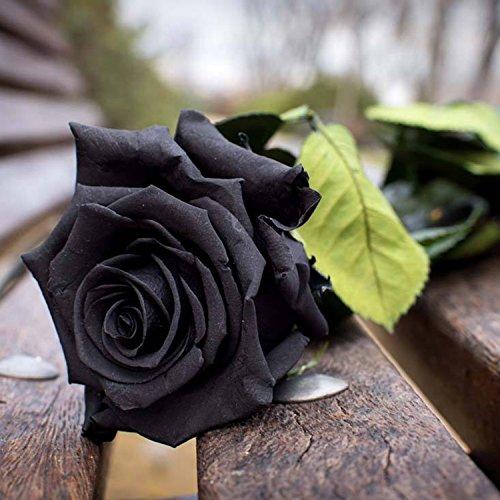 Ncient 50 pcs/Sac Graines Semences de Rose Vivaces Couleur Noir de Graines Fleurs Graines à Planter Plante Rare de Jardin Balcon Belle Floraison Bonsaï en Plein Air pour l'Intérieur et l'Extérieur