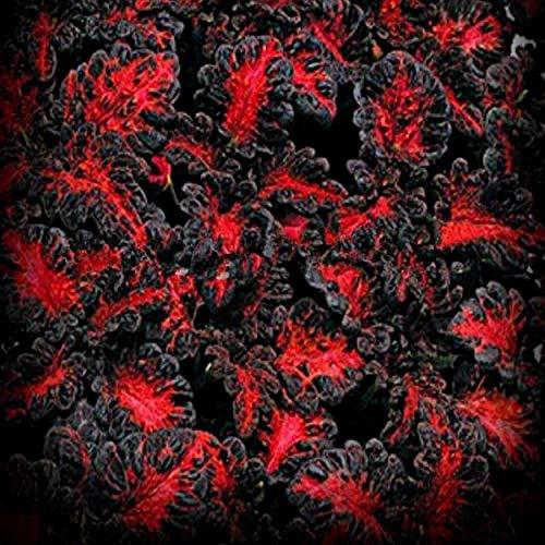 Black Dragon Coleus Samen, 20 Stück