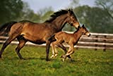 The Irish Image Collection/Design Pics – Thoroughbred Chestnut Mare & Foal Ireland Photo Print (45.72 x 30.48 cm)