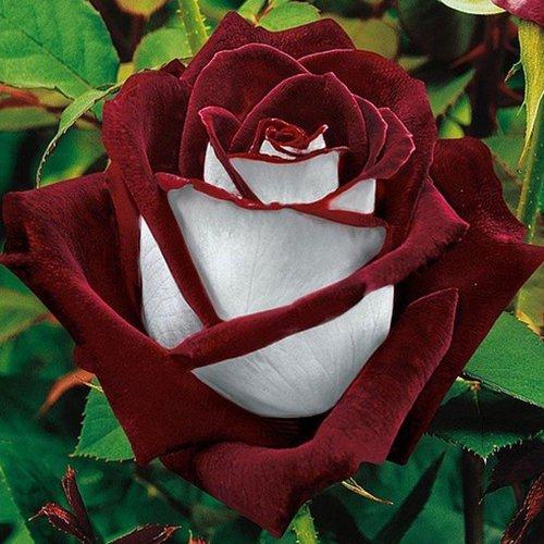 (Rose * Ambizu *) 2015 Vente chaude 200pcs rares Osiria Graines Rose (Osiria 04)