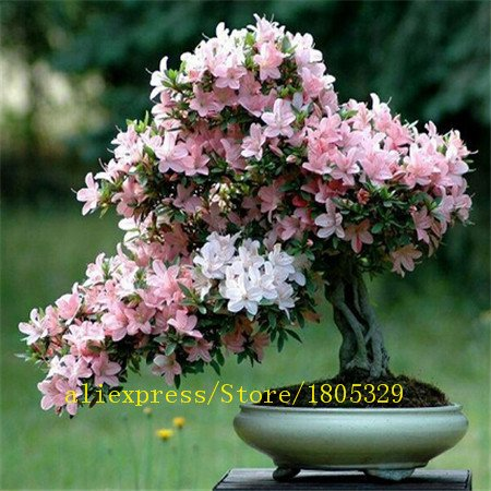 Bonsaï graines 10 graines de sakura roses grande promotion