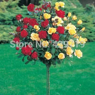 200pcs 8 couleurs Rose chinoise graines d'arbres, Variété Idéal bricolage de jardin bonsaï fleur cadeau parfait pour votre amour pour la maison jardin plantation