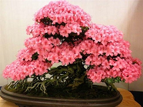 Bonsái japonesa sakura semillas 10 semillas / pack, flor de cerezo bonsai