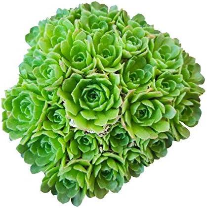 Rosularia Platyphylla 4'' Clay Ranking TOP20 Max 89% OFF + Pot
