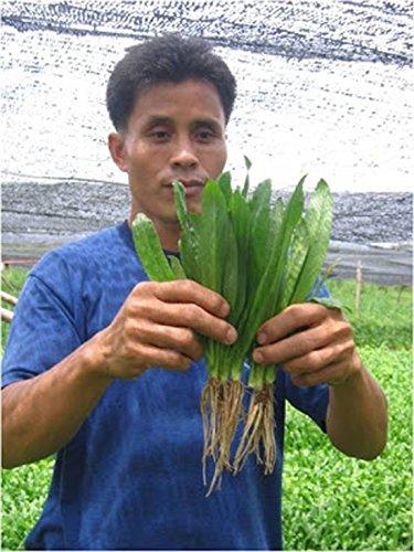 2350 Samen Recao Culantro Cilantro ancho Langer Koriander New Seeds +