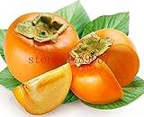Serbi in cuore Nuovo prodotto il seme di alberi di sandalo rosso Seeds - 5 pc / lotto