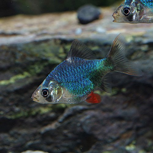 (熱帯魚)グリーンスマトラ(約2cm)(3匹)[生体]