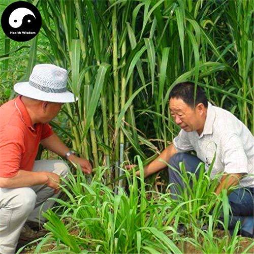 Elitely Kaufen Sie Pennisetum Purpureum Semente 250Pcs Samenfutter Gras Zuckerrohr King Grass
