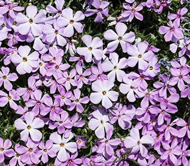 Mountain Phlox Flower Seeds, 1000 Heirloom Flower Seeds Per Packet, Non GMO Seeds
