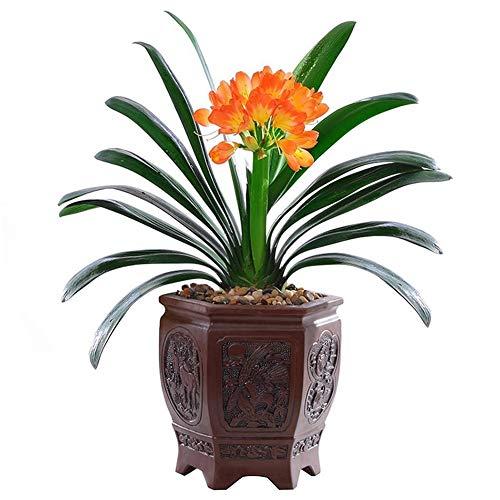TankMR Boerderijen Zaden 20/30/50 Stks Clivia Zaden Indoor Planting Geurige Blooms Potted Bonsai Bloem voor Tuin Balkon/Patio 30Pcs Clivia-zaden
