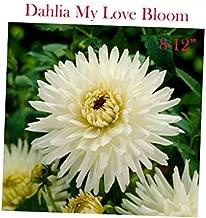 Best dahlia cactus my love Reviews