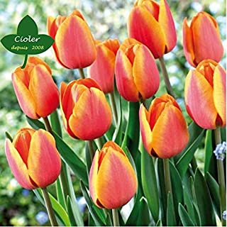 Comprar bulbos de tulipanes amarillos online