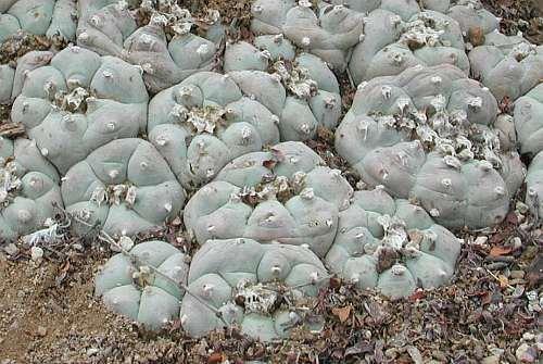 Exotic Plants Lophophora williamsii v San Antonio - Peyotl – cactus San Pedro - 50 graines