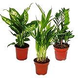 Room Plant Mix I Set of 3, 1x Dieffenbachia, 1x Areca Palm (Chrysalidorpus) 1x Zamio Palm (Zamioculcas), 10-12cm Pot
