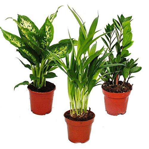 Exotenherz - Zimmerpflanzen-Mix I 3er Set, 1x Dieffenbachia, 1x Areca-Palme (Chrysalidorpus) 1x Zamio-Palme (Zamioculcas), 10-12cm Topf
