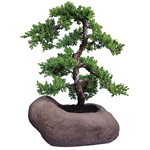Brussel's Live Green Mound Juniper Outdoor Bonsai Tree - 7 Years Old; 14' to 18' Tall with Rock Pot
