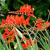 Crocosmia Lucifer Plant in a 9cm Pot - Growing Plant Ready to Plant in The Garden