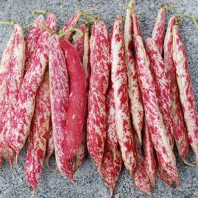 Taylor Dwart Horticulture Bean Seeds, 50+ Premium Heirloom Seeds, Fantastic Addition to Your Home Garden! Bush Bean, (Isla's Garden Seeds),95% Germination Rate, Non GMO, Highest Quality Seeds