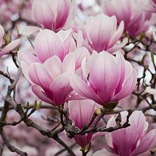 Pianta di Magnolia Soulangeana Magnolia Giapponese in vaso ø11 cm
