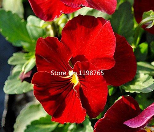 2016 Nouveaux Seeds Arrivée pansy, Red Brown Pansy, Flower Garden Livraison gratuite - 50 particules de semences