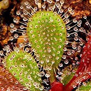 ASTONISH Erstaunen SEEDS: Lila: 50 Stück New Seeds 2017 25 Arten Flytrap Seed Bonsai Topf muscipula Pflanzensammen Terrasse Garten Fleisch fressende Pflanze Samen Lila