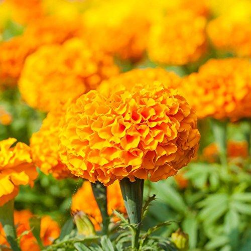Marigold Moonsong Deep Orange semillas - Tagetes erecta