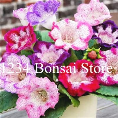 Kalash Neue 100 PC Gloxinie Blumensamen für Gartenmischfarbe