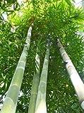 TROPICA - Gräser und Bambus - Riesenbambus (Dendrocalamus giganteus) - 50 Samen