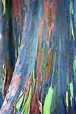 55 Samen von Eucalyptus Deglupta, Regenbogen-Baum, Regenbogen-Gum, seltenen lebensfähigen Samen