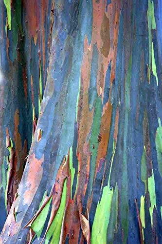55 semi di eucalipto deglupta, Arcobaleno-Tree, Arcobaleno-Gum, semi vitali Rare