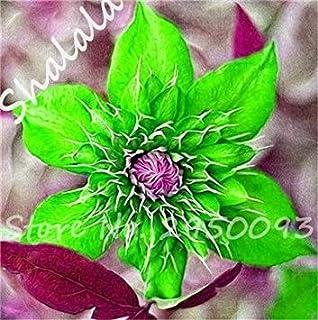 Potseed 2017 Rare 24 Semillas de Color Clematis Clematis Real Raras (No) Bulbos Crecimiento Natural de la Planta al Aire Libre de Plantas de jardín 10 PC 3