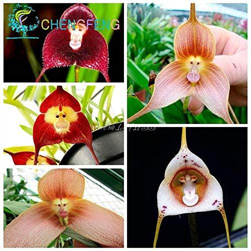 GETSO Samen-Paket: 5pcs / Beutel Misch Coful AFFE-Gesichts-Orchid Seeds RedSeed Peru Samen Affen-Knabenkraut Ältere Phalaenopsis Bonsai: Clear