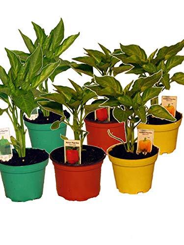 Gemischtes Paprikapflanzen Set, 6x Paprika Pflanze je 2 x Grüner Paprika,Roter Paprika,Gelber Paprika