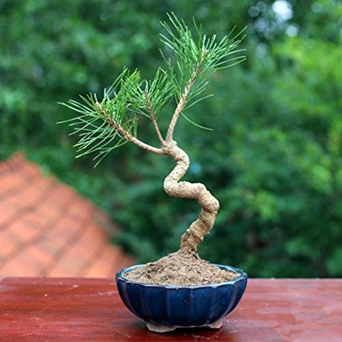 20 pcs/sac Graines de pin noir vert graines de bonsaï Pinus thunbergii plantes Parl pour les plantes ligneuses vivaces droites de jardin à domicile 7