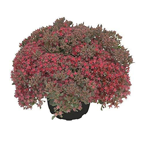 Sedum rocky - rote Polster-Fetthenne - winterhart, im Topf 12 cm, in Gärtnerqualität von Blumen Eber - 12cm