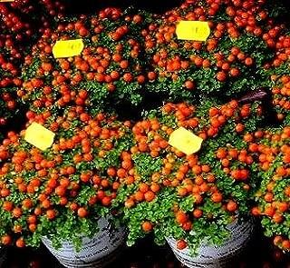Semillas de tomate cherry - Lycopersicon esculentum