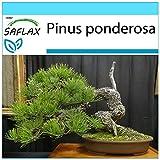 SAFLAX - Set regalo - Pino amarillo occidental - 20 semillas - Con caja regalo/envío, etiqueta para envío, tarjeta de felicitación y sustrato de cultivo y fertilizante - Pinus ponderosa