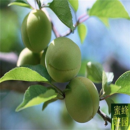 Vente directe Exclus régulier Embellir Tempéré Balcon Graines Fruit amer 10 semences forestières (qing mei)